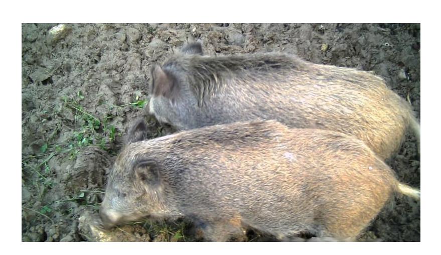 Test fotopułapki Spromise - monitoring zwierząt